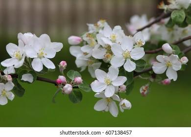 Beautiful white flowers of apple  tree.