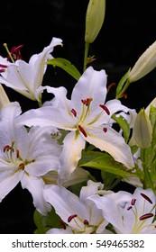 Beautiful white flowers of Asiatic Lily 'Casablanca' (Lilium Hybrid)