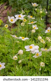 Beautiful white flowers buttercups anemones, primroses snowdrops spring flowers. Wild uncultivated flowers Anemone Sylvestris Ranunculaceae white flowers with a yellow core