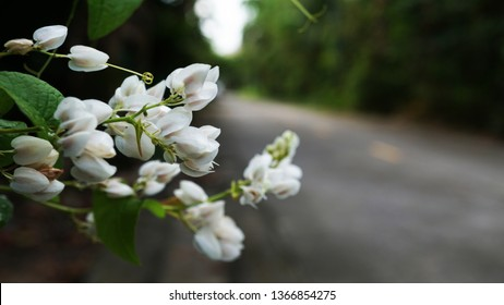 Beautiful white flowers, Confederate vine, Coral vine, Mexican coral vine, Mexican creeper, Queen's jewels, Queen's wreath, with blurred background, Thailand.