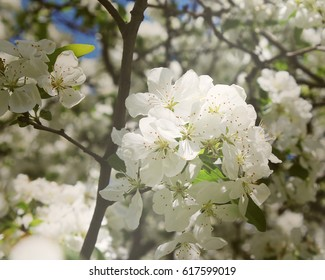 Beautiful white flowers during spring on a tree.