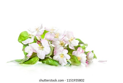 Beautiful white flowers isolated on white background. Apple tree blossom. Floral wallpaper.