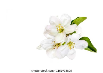 Beautiful white flowers isolated on white background. Floral wallpaper.