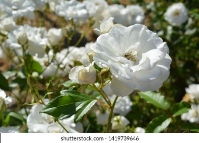Beautiful white flowers natural background