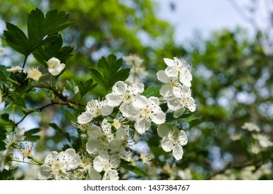 Beautiful white flowers on a blossom hawthorn shrub with a bright green background
