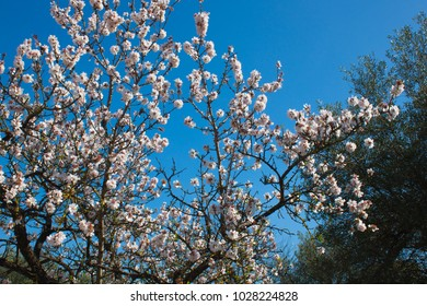 Beautiful white flowers with purple stamens on brown branches against a bright blue sky in early spring in Italy, the region of Apulia. Season change