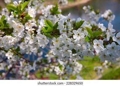 beautiful white flowers tree cherry as illustration spring