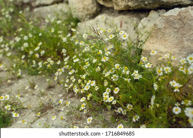 Beautiful white flowers of wild chamomile (medicinal, health) grow near the stones in summer. Daylight. Horizontal photo (landscape orientation)
