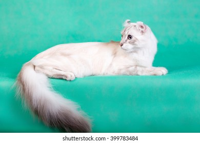 Beautiful white fluffy cat lying on a green background