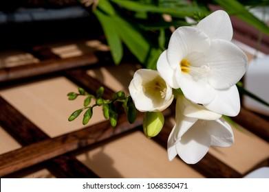 beautiful white freesia
