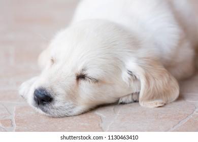 Beautiful white fur golden retriever puppy is sleeping on floor