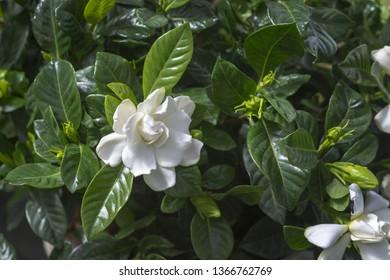 Beautiful white gardenia flower closeup. Spring garden series, Mallorca, Spain.