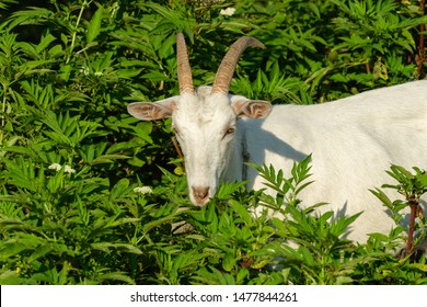 Beautiful white goat grazes in tall green grass. Summer sunny day. Theme of nature, rural recreation and agriculture