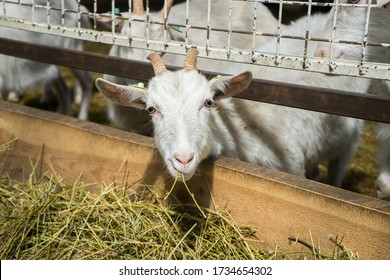 A beautiful white goat is looking at the camera. Goats on a goat farm grown for milk. Animal look. dairy production