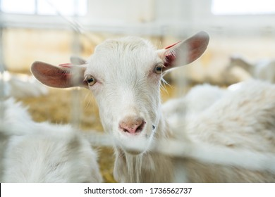 beautiful white goat on a farm behind bars closeup. Farm livestock farming for the industrial production of goat milk dairy products. Imprisonment, animal slavery. animal look