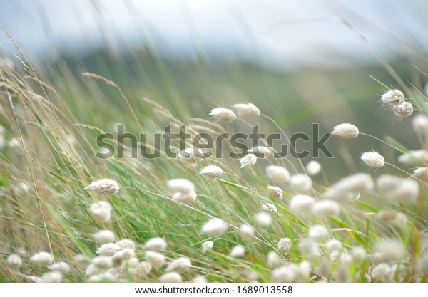 Beautiful white grass blossoms in the wind background