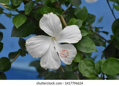 beautiful white hibiscus flower blooms