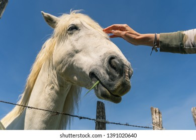 A beautiful white horse caressed by a young woman hand. The horse is chewing some grass