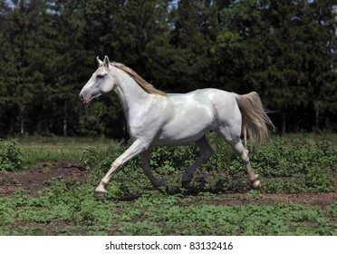 A beautiful white horse with dark background trotting