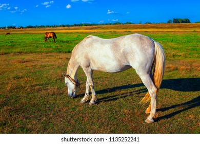 beautiful white horse grazing on the meadow