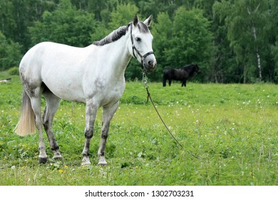 Beautiful white horse in a green meadow near the forest