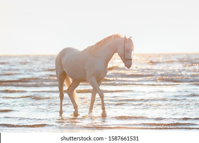 A beautiful white horse with a long mane splashing in the water against the sunset