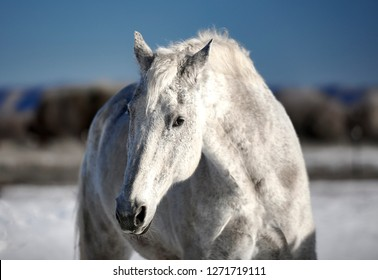 Beautiful white horse outdoors in the winter snow