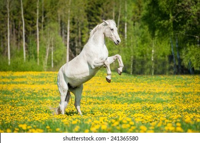 Beautiful white horse rearing up on the field with dandelions