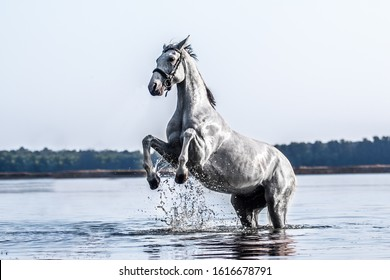 Beautiful white horse in the water with the setting sun