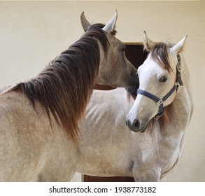 Beautiful white horses with each other