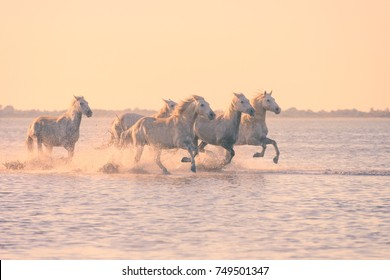 Beautiful white horses galloping on the water at soft sunset light, Parc Regional de Camargue, Bouches-du-rhone department, Provence - Alpes - Cote d'Azur region, south France