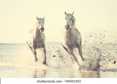 Beautiful white horses galloping on the water at soft sunset light, vintage image, Parc Regional de Camargue, Bouches-du-rhone department, Provence - Alpes - Cote d'Azur region, south France