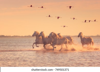 Beautiful white horses running on the water against the background of flying flamingos at soft sunset light, Parc Regional de Camargue, Bouches-du-rhone, Provence - Alpes - Cote d'Azur, south France