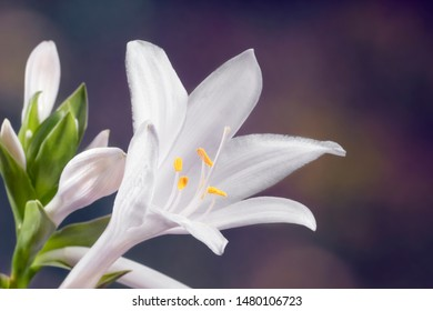 Beautiful white hosta flower, close-up. Hosta is a genus of plants commonly known as hostas, plantain lilies, the Japanese name giboshi. Place for text.
