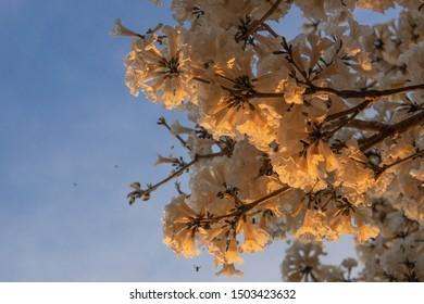 Beautiful White Ipe flowers at the yellow raze of the sunset (Tabebuia roseo-alba)