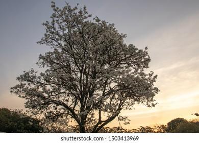 Beautiful White Ipe full of flowers at sunset (Tabebuia roseo-alba)