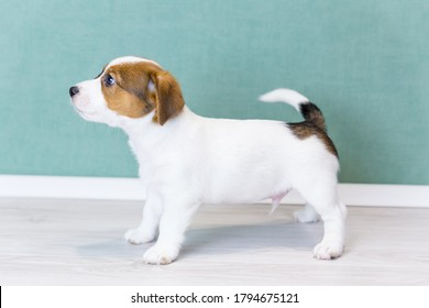 A beautiful white Jack Russell Terrier puppy with brown spots stands sideways in a rack, looks forward, wags its tail. Dog training, preparation for the show. Day of dogs, day of pets.