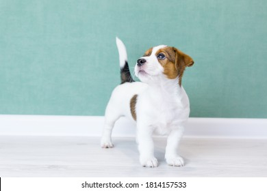 A beautiful white Jack Russell Terrier puppy with brown spots is standing, looking up, tail is up against the background of a green wall. Dog training, preparation for show. Dogs day, pets day