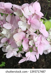 beautiful white and lilac flowering branch on the background of black earth