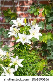 Beautiful white Lilies in a flowerbed.