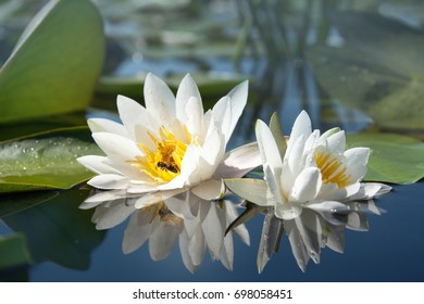 beautiful white lilies on the lake with reflection