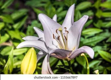 Beautiful white lily flowers on a background of green leaves outdoors.