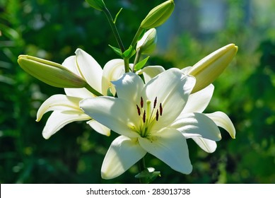 Beautiful white lily flowers on a background of green leaves outdoors. Shallow depth of field. Selective focus.