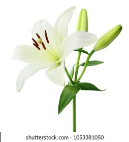 Beautiful white Lily (Lilium, Liliaceae) with buds isolated on white background, including clipping path.