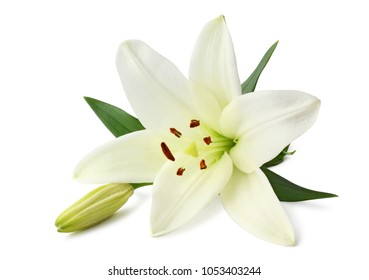 Beautiful white Lily (Lilium, Liliaceae) with bud  isolated on white background, including clipping path clipping path without shade.