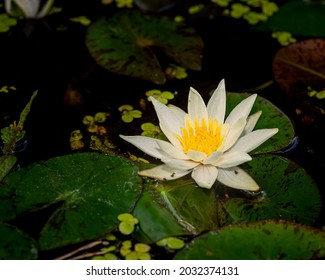 Beautiful white lily on dark background, close-up photo of lily or lotos flower