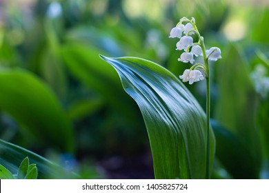 Beautiful white Lily of the valley flowers in the garden, spring, close-up