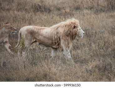 Beautiful White Lion. Caesar in the savanna. scorched grass