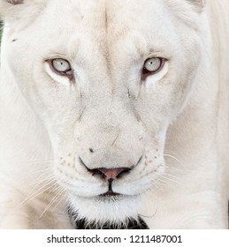 beautiful white lioness with white eyes