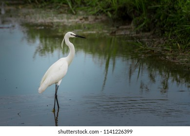 Beautiful White Little Egret. / The little egret (Egretta garzetta) small heron fishing in water. / Little egret walking over the river with some grass around.